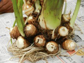 根菜類の育て方  野菜作り講座